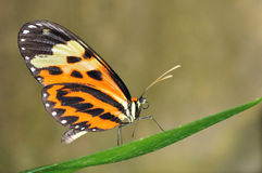 Tropical butterfly on leaf. Tropical butterfly (Heliconius numata aurora) sitting on leaf Stock Photography