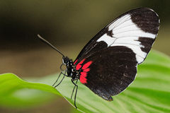 Tropical butterfly on leaf. Tropical butterfly (Heliconius melpomene) sitting on leaf Royalty Free Stock Image