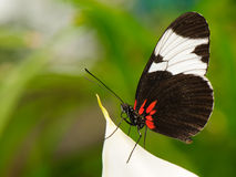 Tropical butterfly on leaf. Tropical butterfly (Heliconius melpomene) sitting on leaf Stock Images