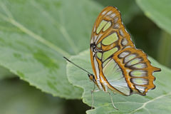 Tropical butterfly. A tropical butterfly on a leaf Royalty Free Stock Images