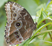 Tropical butterfly. A tropical butterfly on a leaf Royalty Free Stock Photos