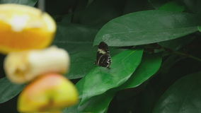 Tropical butterfly on a leaf. Slow motion stock footage
