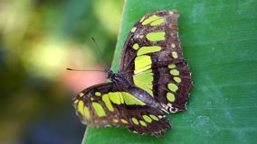 Tropical butterfly. Tropical Malachite Butterfly Siproeta stelenes sitting on a leaf stock video