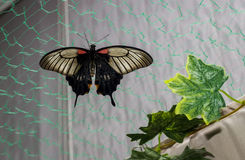 Tropical butterfly Papilio lowi Stock Images