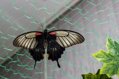 Tropical butterfly Papilio lowi Stock Photos