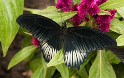 Tropical butterfly Papilio memnon, great Mormon stock image