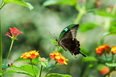 Daily tropical butterfly Papilio Palinuro lat. Papilio palinurus on the flower of Lantana lat. Lantana Royalty Free Stock Photo