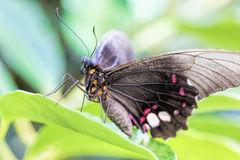 Tropical butterfly (Parides Iphidamas) Royalty Free Stock Photos