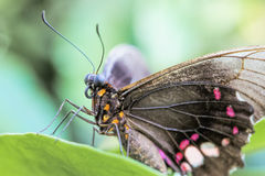Tropical butterfly (Parides Iphidamas) Royalty Free Stock Image