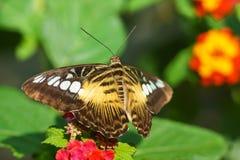 Tropical butterfly Parthenos Sylvia, or Sylvia tiger lat. Parthenos sylvia on the bright colors of the Lantana lat. Lantana. Sunny day Royalty Free Stock Image