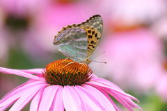 Tropical butterfly and Pink Cone Flower Royalty Free Stock Image