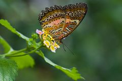 Tropical butterfly Plain Lacewing Royalty Free Stock Photos