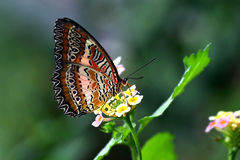 Tropical butterfly Plain lacewing Royalty Free Stock Image