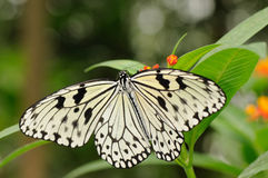 Tropical butterfly on plant. Tropical butterfly (Idea leuconoe or rice paper butterfly) hanging on plant Royalty Free Stock Photography