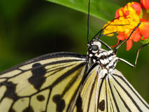 Tropical butterfly on plant. Tropical butterfly (Idea leuconoe or rice paper butterfly) hanging on plant Stock Photography