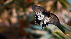 Tropical butterfly sailboat Levy. Tropical butterfly on a leaf background blur Stock Photography