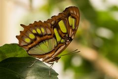 Tropical butterfly Siproeta stelenes, malachite. Nymphalidae. Tropical exotic butterfly with wings of olive-green color royalty free stock photos