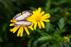 Tropical butterfly sits on a flower Stock Images