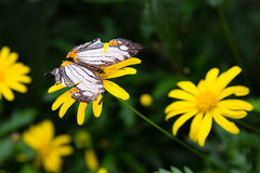 Tropical butterfly sits on a flower Stock Photography