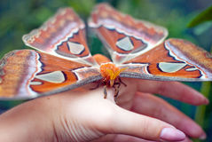 The tropical butterfly sits on a hand. The big orange butterfly sits on a hand. Attacus atlas - One of the largest butterflies in the world. Family Saturniidae Stock Image