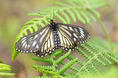Tropical butterfly. Sitting on fern stock photos