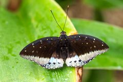 Tropical butterfly sitting on a leaf and resting stock image