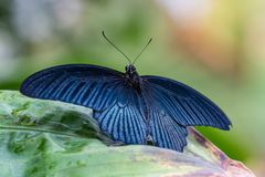 Tropical butterfly sitting on a leaf and resting royalty free stock photography