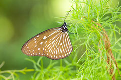 Tropical butterfly sitting at plant from Malaysia Stock Photography