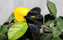 Tropical butterfly Troides rhadamantus Royalty Free Stock Photos