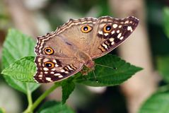 Tropical butterfly, Viet Nam Stock Photos