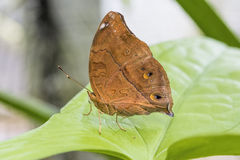 Tropical butterfly (vindula arsinoe) Royalty Free Stock Photography
