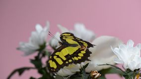 Tropical butterfly on a white flower. Macro shot of tropical utterfly opening Its wings slowly stock footage