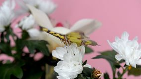 Tropical butterfly on a white flower. Macro closeup stock footage