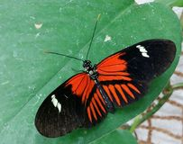 The Postman Butterfly. Dorsal view. Tropical Butterfly with wide wingspan in black, white and red markings. The Postman Butterfly. Dorsal view Royalty Free Stock Image