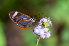 Tropical butterfly on a wildflower Royalty Free Stock Photos