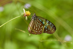 Tropical butterfly on yellow flower in green grass Stock Photography