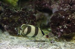 Tropical butterflyfish Royalty Free Stock Images