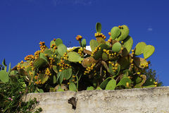 Tropical cactus with fruits, blue sky on background Stock Images