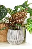 Tropical `Calathea Makoyana` Prayer Plant with beautiful pattern in gray flower pot surrounded by other house plants