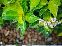 Tropical Caricature leaves bloom with little white and pink flowers. Image of Caricature leaves in great vibrance foliage color. Blooms with 4 petals white and Stock Photography