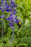 Tropical carpenter bee with the flower Royalty Free Stock Photos