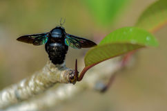 Tropical carpenter bees sitting on the leaf. Tropical carpenter bees sitting on the lbranch with eaf Stock Image