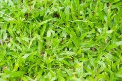 Tropical Carpet grass Stock Images