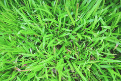 Tropical Carpet grass. Top view close up Tropical Carpet grass Royalty Free Stock Photos