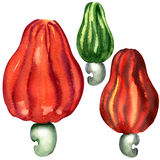 Tropical cashew fruit isolated, watercolor Stock Photo