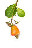 Tropical Cashew fruits and leaf Royalty Free Stock Images