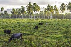 Tropical Cattle Scene Stock Photo