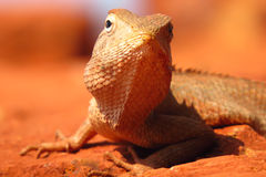Tropical Chameleon Closeup Royalty Free Stock Photography
