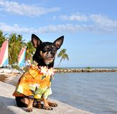 Tropical Chihuahua Stock Photos