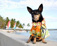 Tropical Chihuahua Royalty Free Stock Image